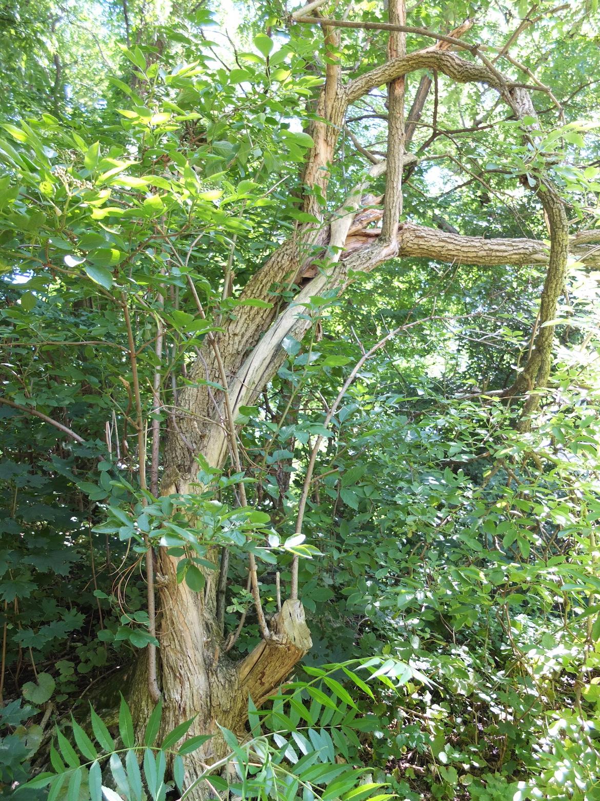 """Bild vom Baum, den wir """"Gromutter Weide"""" tauften"""