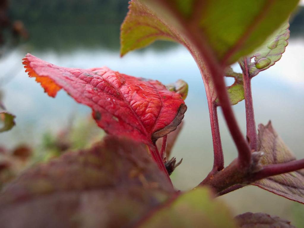 Rotes Blatt Greifenstein